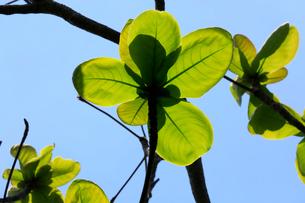 モモタマナ 南崎 母島の写真素材 [FYI03221903]