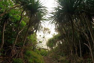 タコノキ 御幸之浜 母島の写真素材 [FYI03222058]