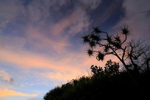 夕焼け タコノキ 御幸之浜 母島の写真素材 [FYI03222060]