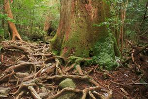 大株歩道の木の根の写真素材 [FYI03222386]