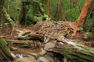 大株歩道の木の根の写真素材 [FYI03222442]