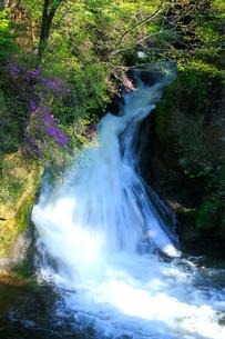 トウゴクミツバツツジと竜頭ノ滝の写真素材 [FYI03222671]