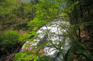 湯滝と新緑の奥日光の写真素材 [FYI03222698]