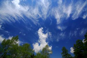 ダケカンバと巻雲の空の写真素材 [FYI03222722]
