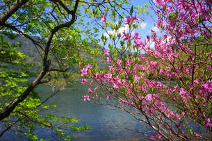 奥日光のトウゴクミツバツツジと湯ノ湖の写真素材 [FYI03222732]