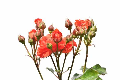 白背景の薔薇の花の写真素材 [FYI03222775]