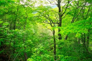 広葉樹林の新緑の写真素材 [FYI03222851]