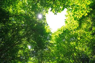 ブナの新緑のハートの写真素材 [FYI03223089]
