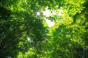 ブナの新緑の写真素材 [FYI03223090]