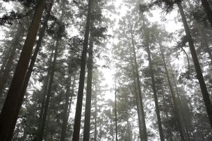 吉野山,奥千本,霧の吉野杉の写真素材 [FYI03223143]