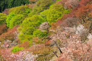 吉野山,上千本の新緑と山桜の写真素材 [FYI03223152]