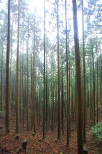 吉野山,奥千本,新緑の杉林の写真素材 [FYI03223166]