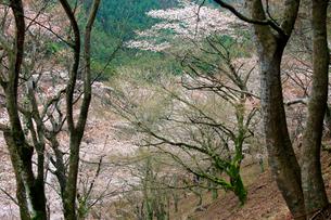 吉野山,奥千本の山桜の写真素材 [FYI03223167]