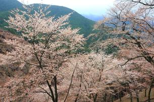 吉野山,奥千本の山桜と吉野杉の写真素材 [FYI03223185]