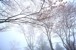 吉野山,奥千本,霧の山桜の写真素材 [FYI03223186]