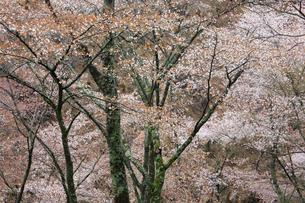 吉野山,奥千本の山桜の写真素材 [FYI03223188]