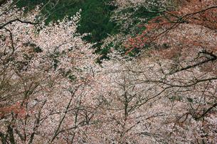 吉野山,奥千本の山桜の写真素材 [FYI03223189]