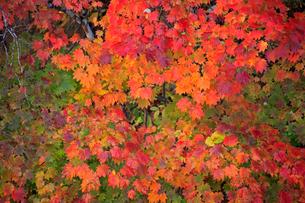 秋の中津川の紅葉の写真素材 [FYI03223244]