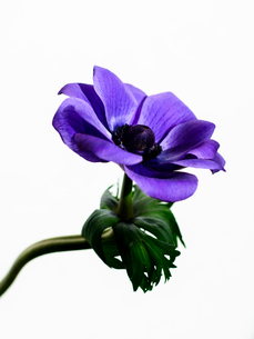 アネモネ紫の写真素材 [FYI03223579]