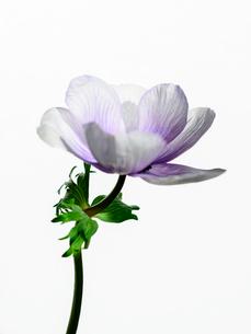 アネモネ白紫の写真素材 [FYI03223583]