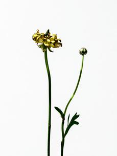 ラナンキュラス黄の写真素材 [FYI03223617]