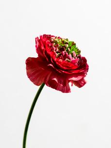 ラナンキュラス赤緑の写真素材 [FYI03223618]