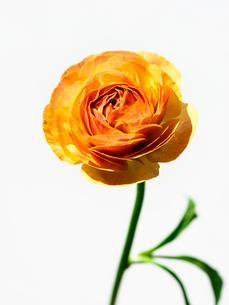 ラナンキュラス橙の写真素材 [FYI03223623]