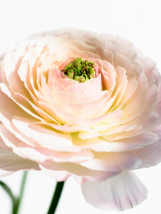ラナンキュラス白ピンクアップの写真素材 [FYI03223624]