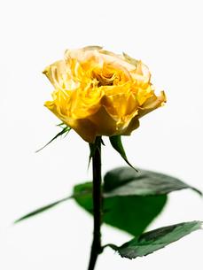 バラ黄の写真素材 [FYI03223630]