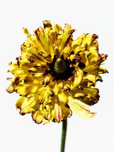 ラナンキュラス黄の写真素材 [FYI03223633]