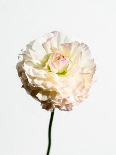 ラナンキュラス白ピンクの写真素材 [FYI03223665]