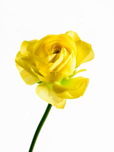 ラナンキュラス黄の写真素材 [FYI03223666]