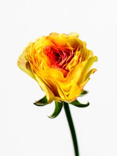 ラナンキュラス黄赤の写真素材 [FYI03223667]