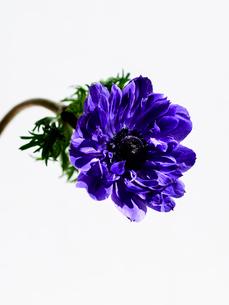 アネモネ紫の写真素材 [FYI03223699]