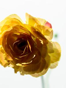 ラナンキュラス黄の写真素材 [FYI03223774]