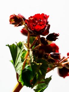 ベゴニア赤の写真素材 [FYI03223786]