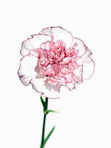 カーネーション白ピンクの写真素材 [FYI03223800]