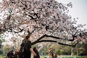 パリ植物園の桜の写真素材 [FYI03223935]