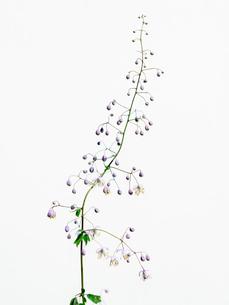 シキンカラマツ紫の写真素材 [FYI03224030]
