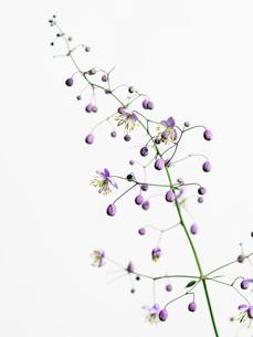 シキンカラマツ紫の写真素材 [FYI03224033]