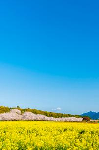 西都原古墳群の桜並木の写真素材 [FYI03224048]