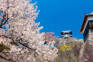 熊本城の桜の写真素材 [FYI03224054]