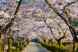 秋月杉の馬場通りの桜の写真素材 [FYI03224057]