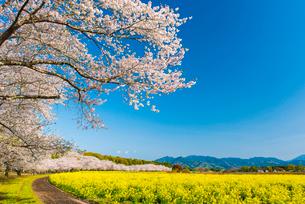 西都原古墳群の桜並木の写真素材 [FYI03224059]