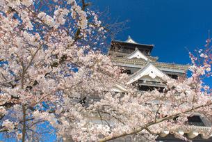 熊本城の桜の写真素材 [FYI03224079]