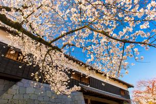 熊本城南大手門の桜の写真素材 [FYI03224083]