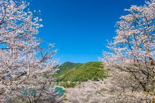 市房ダムの桜の写真素材 [FYI03224089]