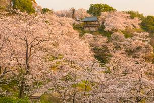 菊池公園の桜の写真素材 [FYI03224095]
