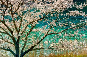 川辺川の桜の写真素材 [FYI03224099]