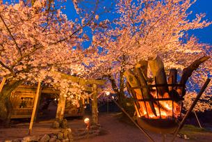 夕月神社の夜桜の写真素材 [FYI03224103]